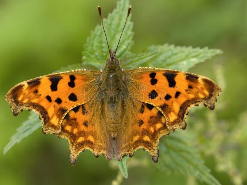Aurelia di Gehakkelde, farfalla di virgola, c-album di Polygonia fotografie stock