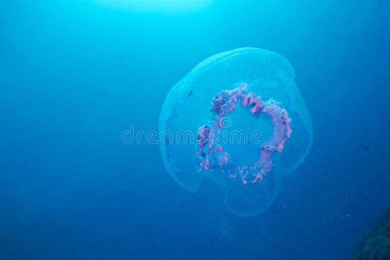 Download Aurelia jellyfish stock photo. Image of scuba, dahab - 20260122