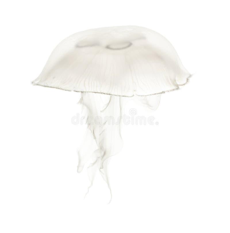 Aureliaaurita riep ook de gemeenschappelijke kwallen tegen witte bedelaars stock foto