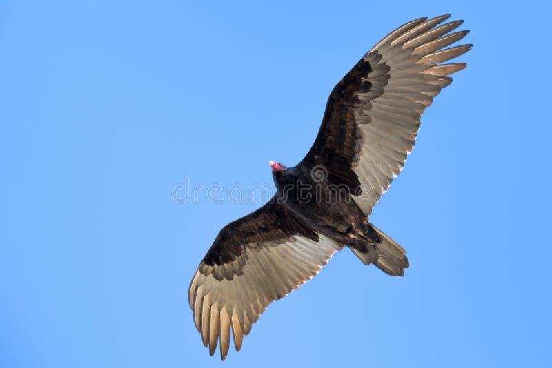 Aureola del Cathartes del buitre de pavo del vuelo fotos de archivo