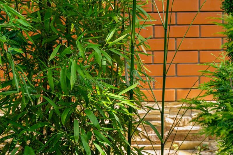 Aureosulcata di bambù del Phyllostachys delle foglie verdi graziose sempreverdi sul fondo del muro di mattoni fotografia stock