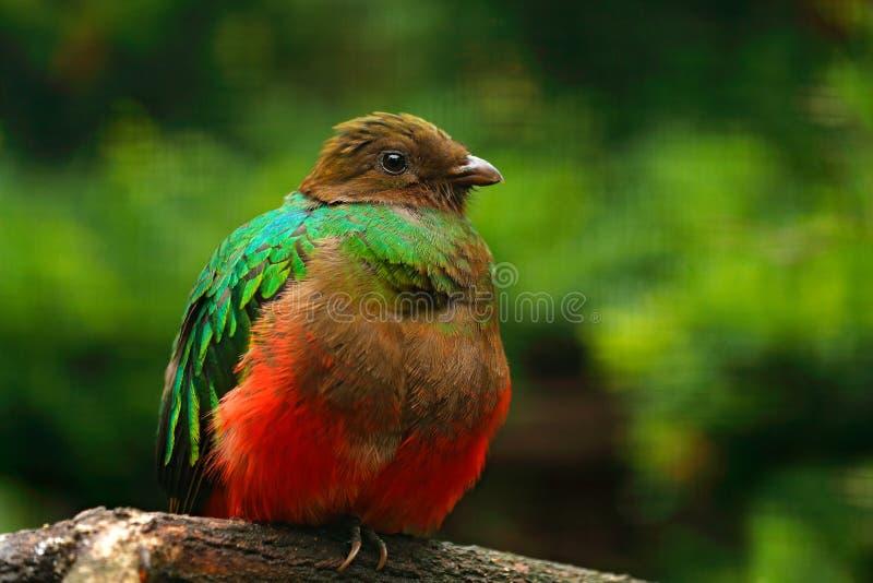 auriceps Dourado-dirigidos do quetzal, do Pharomachrus, pássaro verde e vermelho sagrado magnífico Quetzal do retrato do detalhe  foto de stock