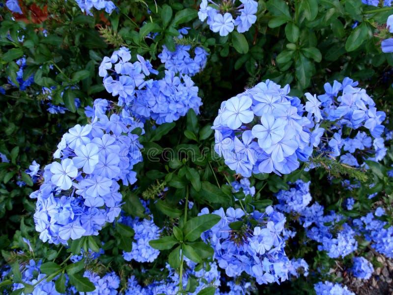 Auriculata de plumbago plumbago de cap photo stock for Pflanzen evergreen