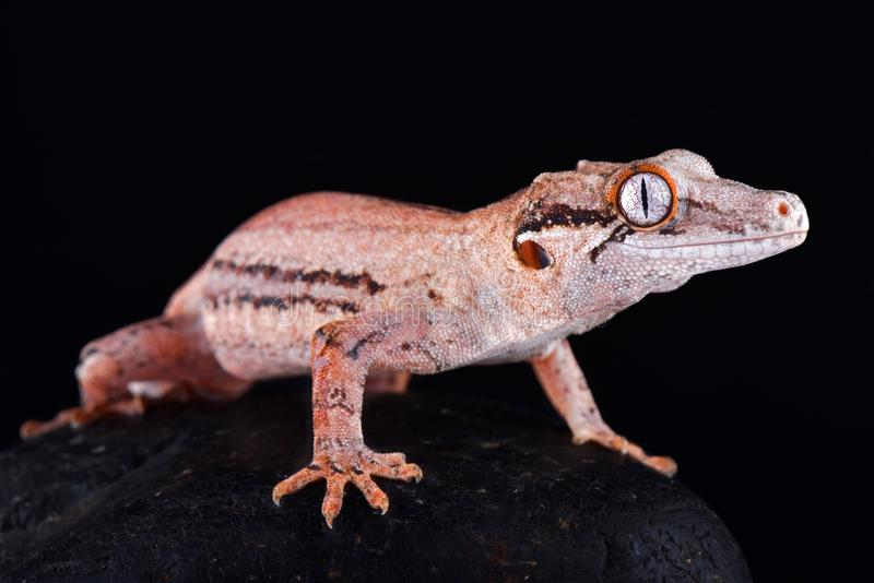 Auriculatus Rhacodactylus гекконовых горгульи стоковое фото