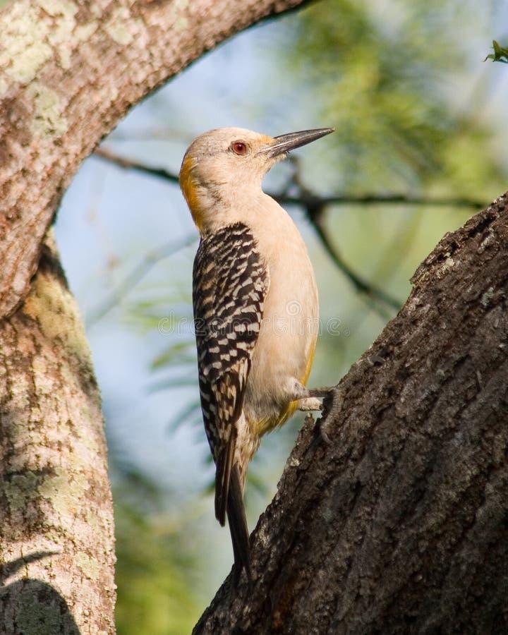 aurifrons противостояли золотистый woodpecker melanerpes стоковая фотография