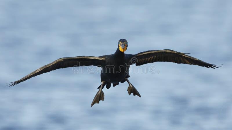 auritus Dobro-com crista do Phalacrocorax do cormorão que prepara-se para aterrar fotos de stock royalty free