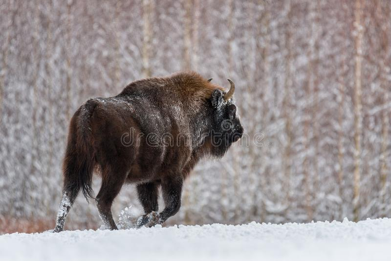 Aurochs of Bison Bonasus , de laatste vertegenwoordiger van wilde stieren in europa Gevaarlijk Artiodactyldier stock afbeelding