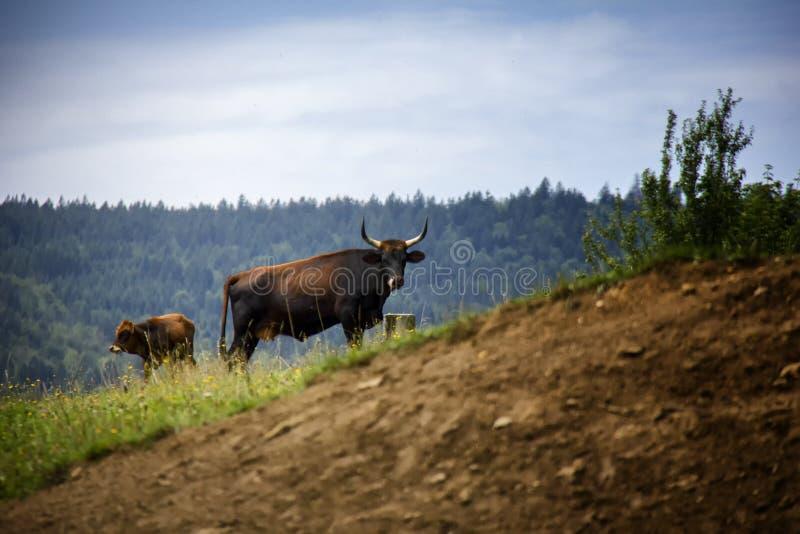Aurochs con il suo vitello immagine stock