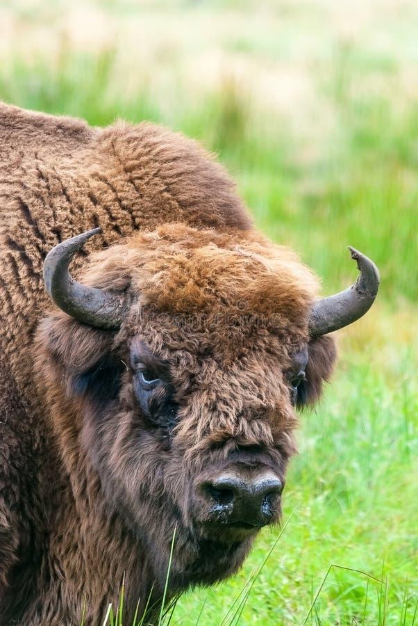 Aurochs européen de bison dans Belovezhskaya Puscha images libres de droits