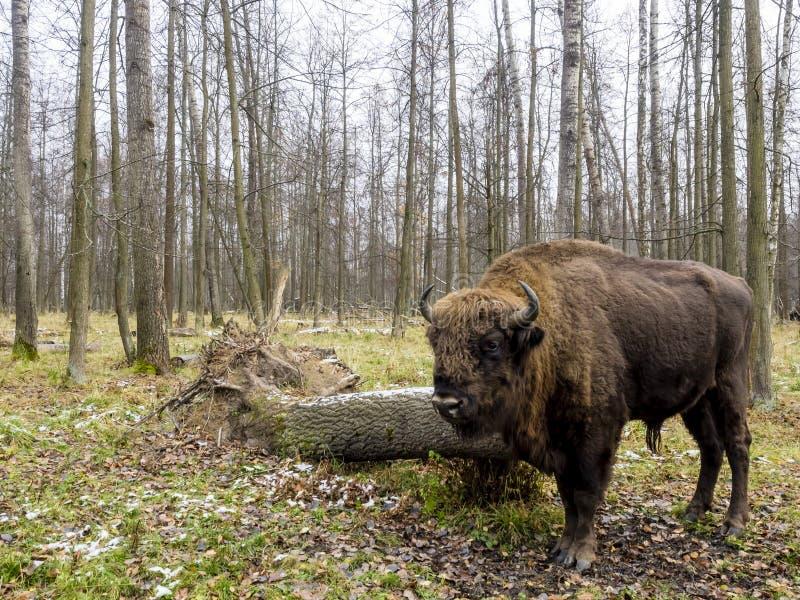Aurochs, groot dier in het bos Europese die bonasus van de bizonbizon, ook als wisent of de Europese houten bizon, Rusland wordt  royalty-vrije stock afbeelding