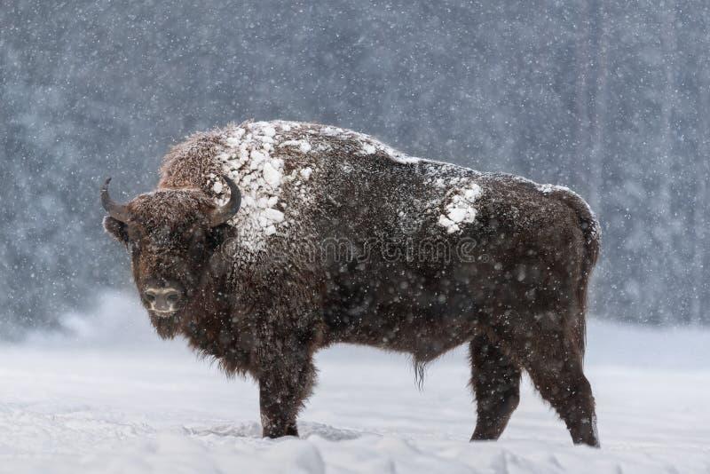 Aurochs oder Bison Bonasus. Rige European Brown Bison Wisent , einer der Zoologischen Attraktionen des Bialowieza-Waldes, Belarus. stockfoto