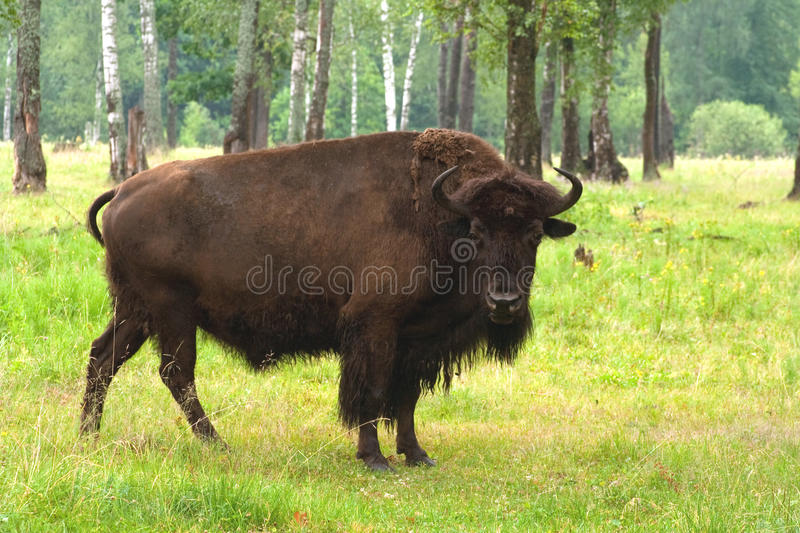 Aurochs in the summer forest stock photography
