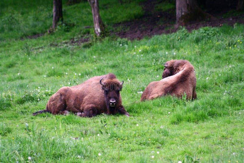 Aurochs (Zimbrii en rumano) foto de archivo