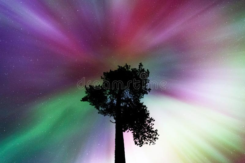 Aurora borealis corona above old Scots pine. Vivid dispaly in autumn night sky royalty free stock photography