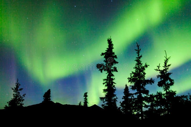 Aurora borealis de la aurora boreal de la picea del taiga del Yukón fotografía de archivo