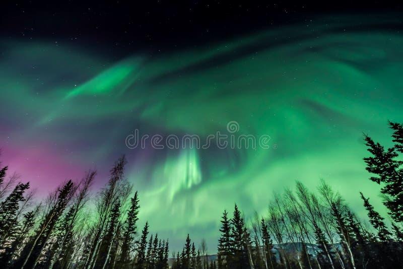Aurora borealis pourpre et vert tourbillonnant au-dessus des arbres silhouettés en Alaska image libre de droits