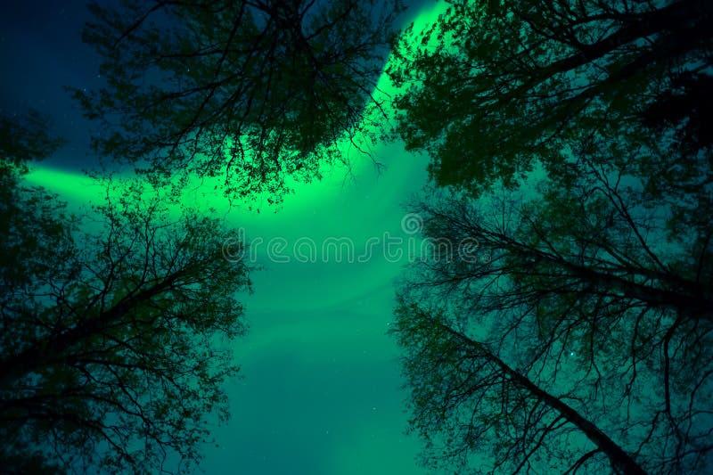 Aurora borealiscorona boven treetops stock foto's