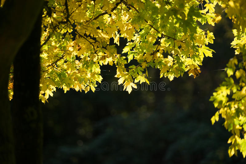 Aurumn Leaves. Sunlight through leaves in autumn, the light fantastic stock photo