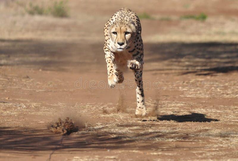 Ausübung des Gepards: einen Köder fast dort jagen! lizenzfreie stockbilder