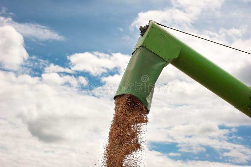 Aus dem Programm nehmen des Weizens lizenzfreie stockfotos