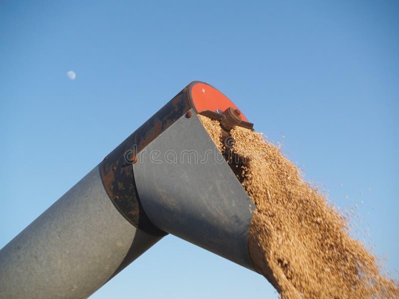 Aus dem Programm nehmen des Weizens lizenzfreies stockbild