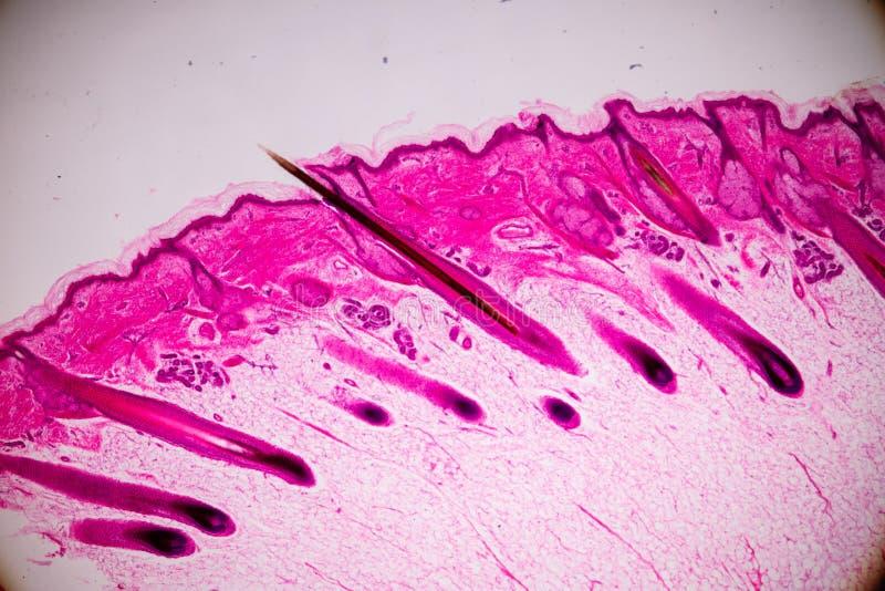 Ausbildungsanatomie und Physiologie der menschlichen Kopfhautshow von Haar folticles unter dem mikroskopischen lizenzfreies stockfoto