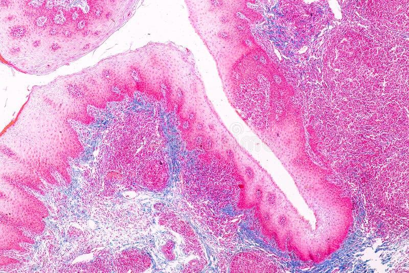 Ausbildungsanatomie und Physiologie der Zunge unter dem mikroskopischen stockfotografie