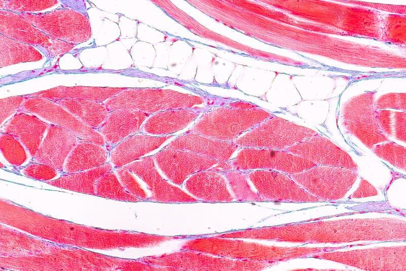 Ausbildungsanatomie und Physiologie der Zunge unter dem mikroskopischen stockbilder