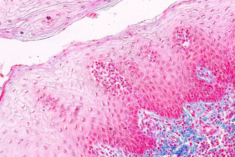 Ausbildungsanatomie und Physiologie der Zunge unter dem mikroskopischen lizenzfreies stockfoto