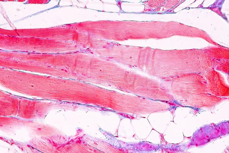 Ausbildungsanatomie und Physiologie der Zunge unter dem mikroskopischen stockbild