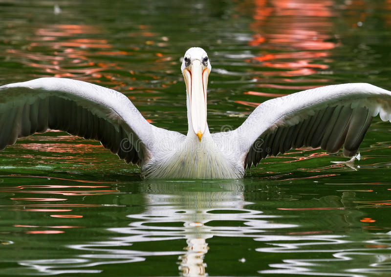 Ausbreitende Flügel des Pelikans lizenzfreie stockfotografie