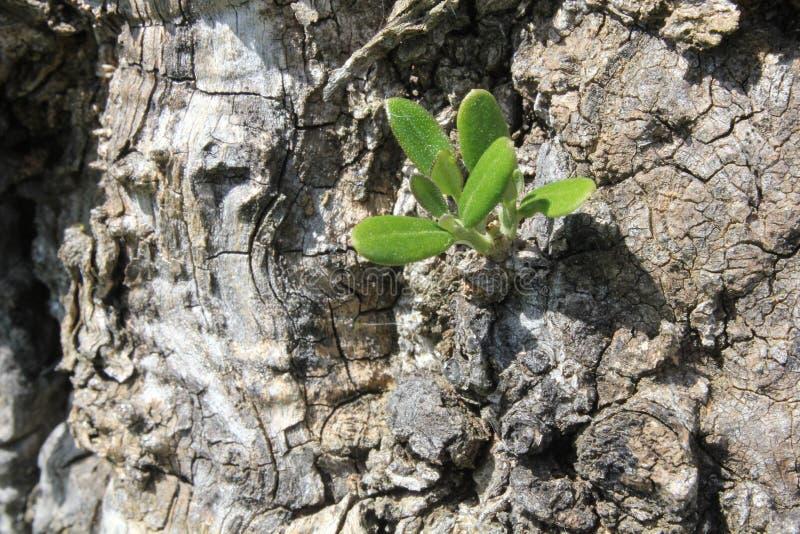 Ausbruch eines Olivenbaums lizenzfreie stockbilder