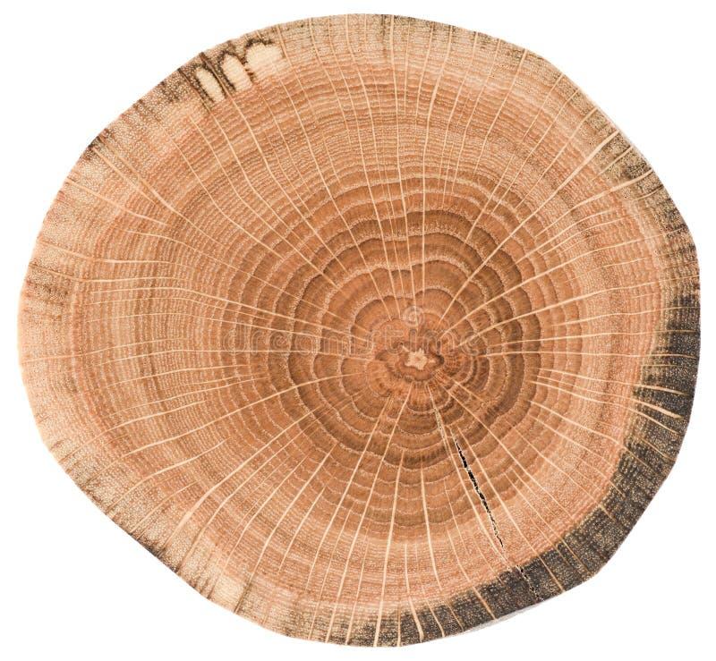 Ausführliche alte Eichenbeschaffenheit als Naturholzhintergrund Baumscheibe mit den Wachstumsringen lokalisiert auf weißem Hinter lizenzfreies stockfoto
