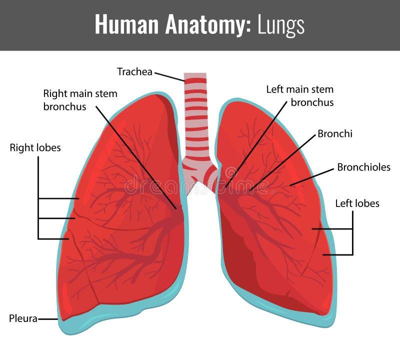 Ausführliche Anatomie Der Menschlichen Lungen Vektor Medizinisch ...