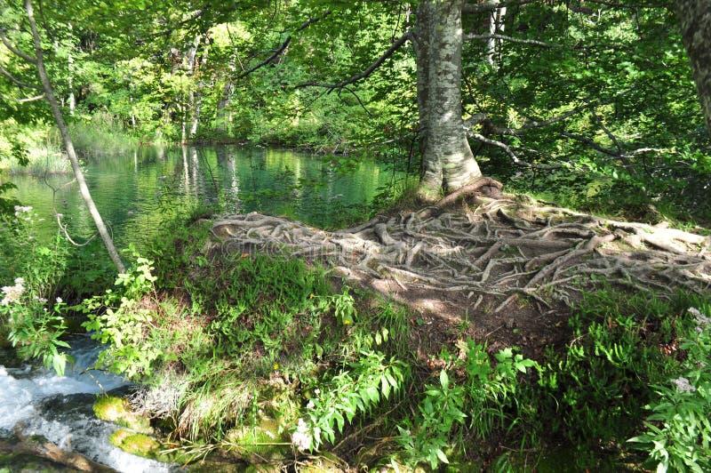 Ausführliche Baum-Wurzeln an den ruhigen grünen Seen stockfoto