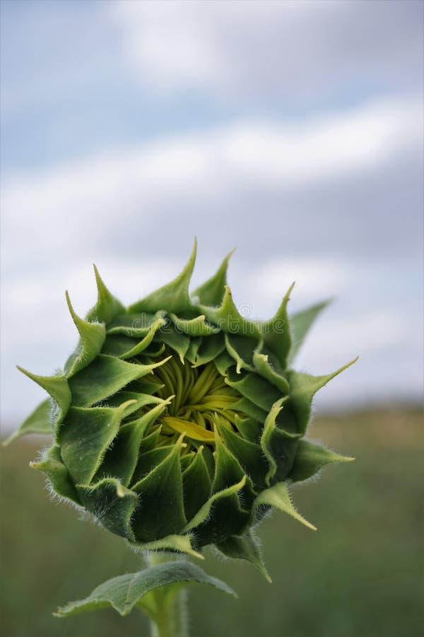 Ausführliche Großaufnahme der grünen Sonnenblumenknospe und des blauen Himmels stockfotografie