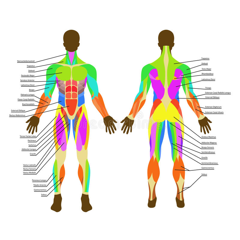 Großartig Anatomie Und Histologie Des Atmungssystems Bilder ...