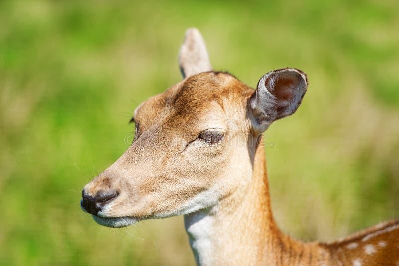 Ausführliche Nahaufnahme des Rehbocks im grünen Hintergrund Wildes Tier in der natürlichen Umwelt lizenzfreie stockfotografie