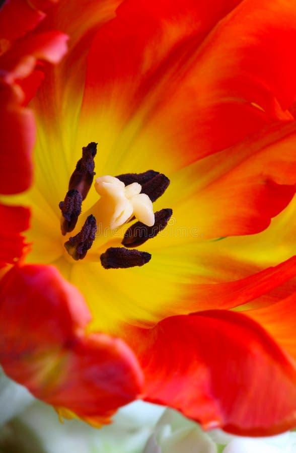 Ausführliches Bild der Tulpe lizenzfreie stockfotografie