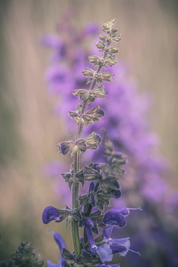 Ausführliches Foto der Nahaufnahme eines purpurroten Salbei Salvia-pratensis Wildflower Weichzeichnung, Pastellfarben, warme Töne stockbild