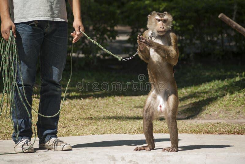 Ausgebildeter Affe stockbilder