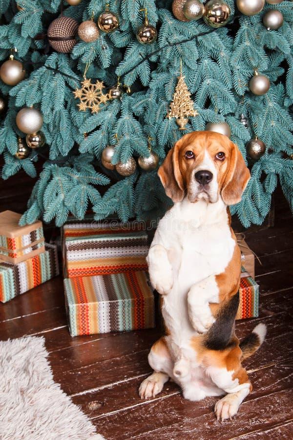 Ausgebildeter Hund sitzt ergeben nahe Baum des neuen Jahres mit Geschenken stockfotos