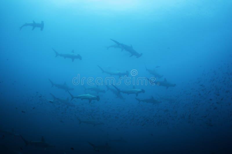 Ausgebogte Hammerhaie stockbild