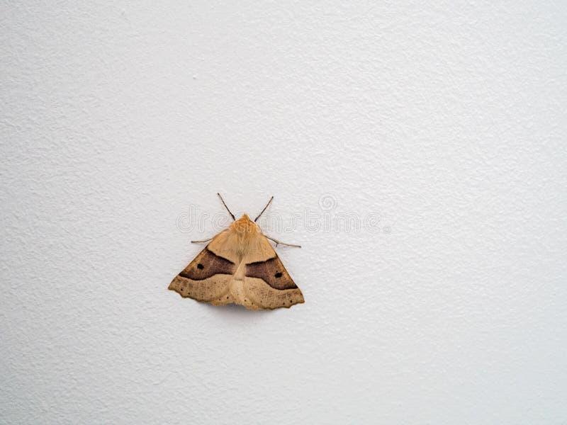 Ausgebogte Motte der Eichen-(Crocallis-elinguaria) lizenzfreies stockfoto