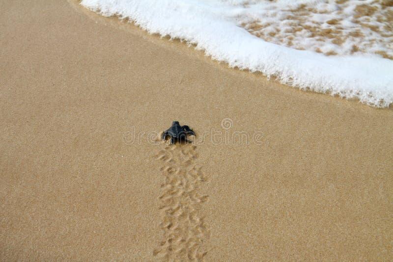 Ausgebrütete Meeresschildkröte, die Abdrücken im nassen Sand auf ihm ` s Weise in das Meer lässt stockfotos