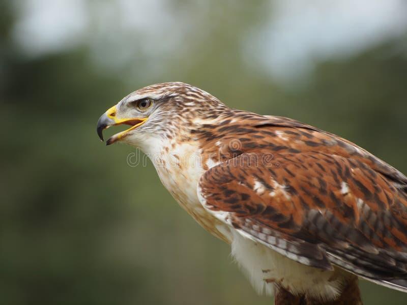 Ausgedehnt-winged Falke lizenzfreie stockfotografie