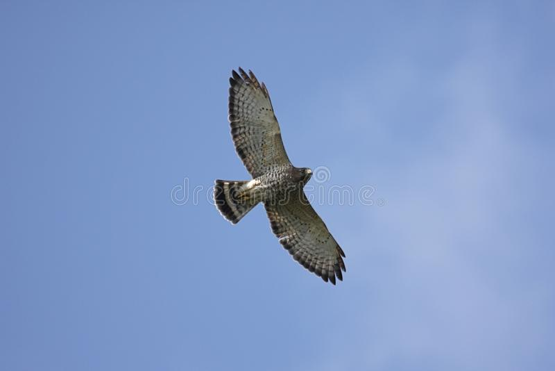 Ausgedehnt-winged Falke im Flug lizenzfreie stockfotos