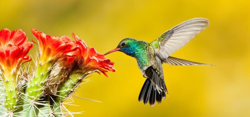 Ausgedehnter berechneter Kolibri stockfotos