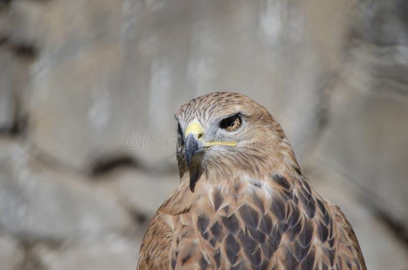 Ausgehungertes Adlerauge stockfotografie