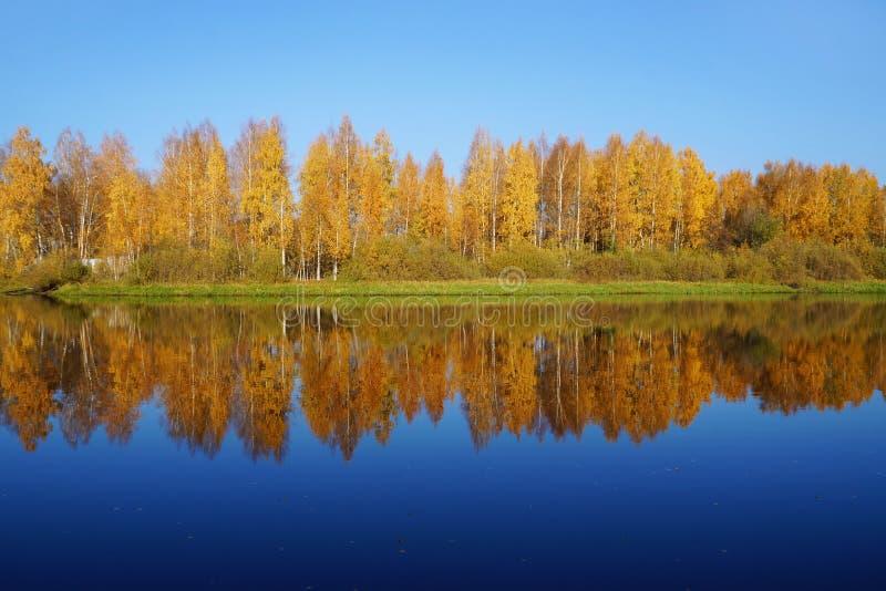 Ausgereifter Herbst Birchs mit den gelben Blättern reflektiert im Fluss lizenzfreie stockbilder